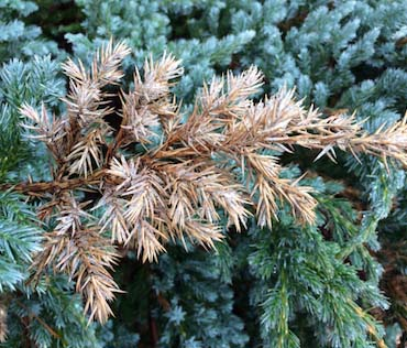 needles on conifers are turning brown