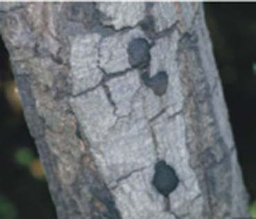 Tree with Gray color area and black spots on bark