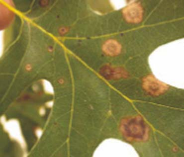 red oak tree leaf covered with brown blotches on leaves