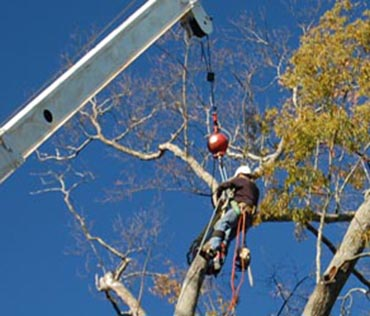 white crane removing oak tree agaisnt blue sky
